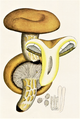 Bresadola - Lactarius scrobiculatus.png