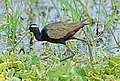 Bronze-winged Jacana (35980522125).jpg