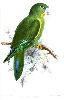 BrotogerysGustaviKeulemans.jpg