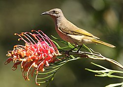 Brown Honeyeater kobble Aug08.JPG