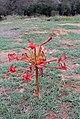 Brunsvigia orientalis (Amaryllidaceae) (4495117758).jpg