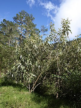 Buddleja domingensis.jpg