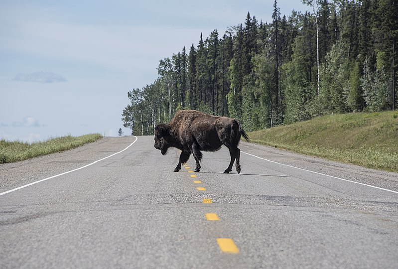 File:Buffalo Alcan Highway 4222.jpg