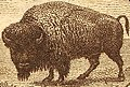 Buffalo stamp 20c 1923 issue (cropped).jpg