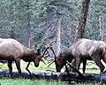 Bull Elk - Rutting Season (6138864720).jpg