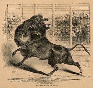 Bear-baiting - A bear and bull fight in New Orleans, 1853