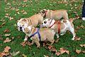Bulldog Crew.jpg