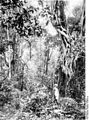 Bundesarchiv Bild 105-DOA0532, Deutsch-Ostafrika, Meru, Urwald.jpg