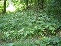 Burdock Arctium species.jpg