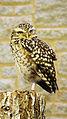 Burrowing owl (Athene cunicularia) (2).jpg
