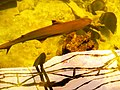 Cá mập vây lưng đen tại Viện Hải dương Nha Trang.jpg
