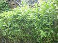 Cây cúc tần -Pluchea indica.JPG