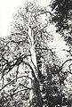 C.1984. Dwarf mistletoe damage. (40048842420).jpg
