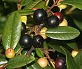 COFFEEBERRY, CALIFORNIA (rhamnus californica c) (9-5-07) coon creek -01 (1331736691).jpg