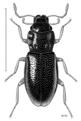 COLE Hydraenidae Hydraena zelandica.png