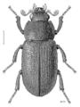 COLE Lucanidae Ceratognathus 1 m.png