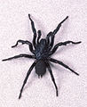 CSIRO ScienceImage 1969 The Male Funnel Web Spider.jpg