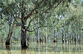 CSIRO ScienceImage 4471 Flooded Barmah forest river gums VIC.jpg