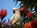 Cacatua galerita in a Alloxylon flammeum tree-8a.jpg