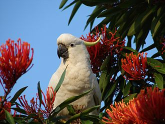 Sulphur-crested cockatoo - In Brisbane, Queensland.