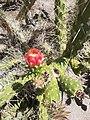 Cactus Flower in Jardín Japonés Antofagasta.jpg