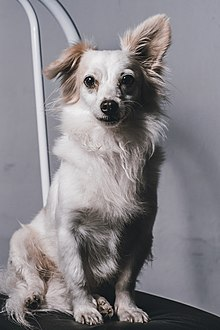 Small Greek Domestic Dog Wikipedia