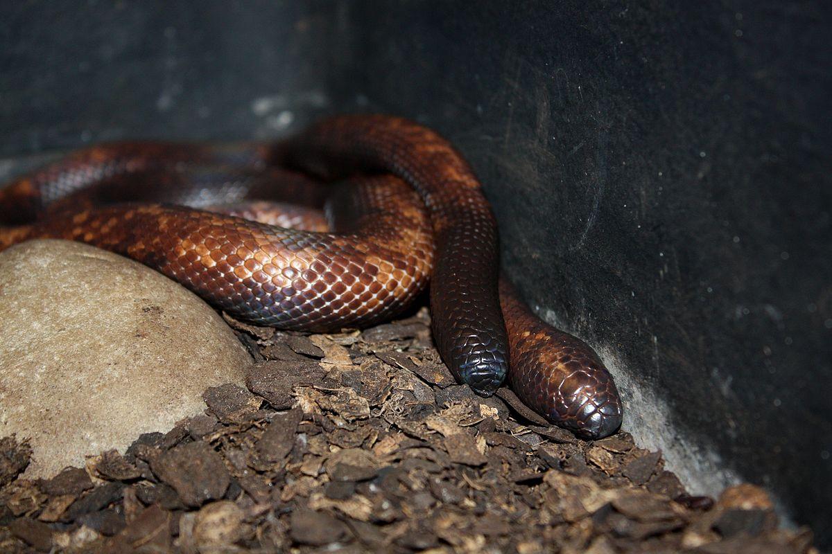 1200px-Calabar_Serpent2.jpg