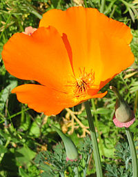 California Poppy A List Of San Francisco