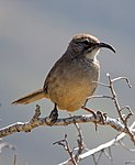 California Thrasher.jpg
