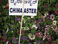 Callistephus or china aster 1946.JPG