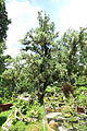 Calocedrus macrolepis - Saigon Zoo and Botanical Gardens - Ho Chi Minh City, Vietnam - DSC01243.JPG