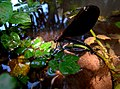 Calopteryx IMG 6396^.jpg