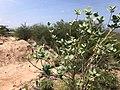 Calotropis procera Magadi3.jpg