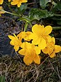 Caltha palustris RHu close-up.JPG