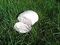 Calvatia gigantea 2.jpg