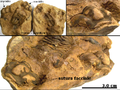Calymene Devonian Erfoud Morocco nodule.png