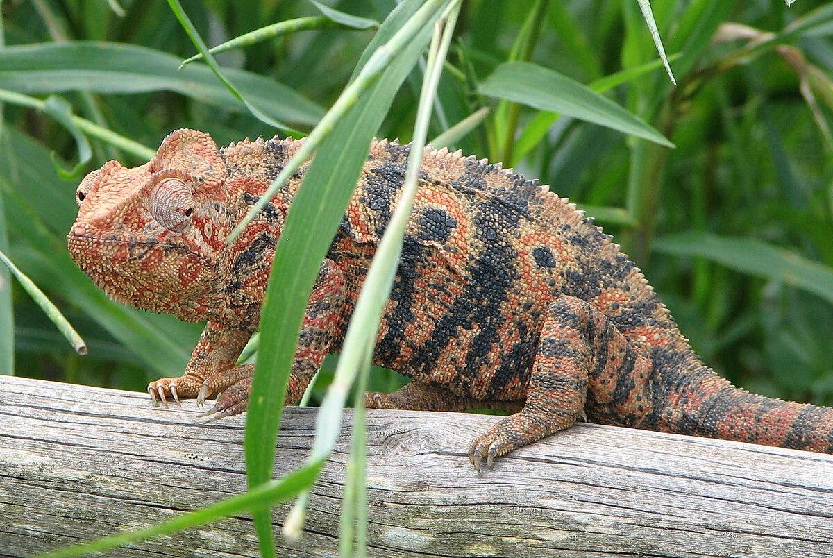 U Chameleona Chameleon obrovský...