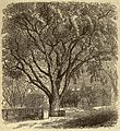Cambridge (Mass.) - Washington Elm.jpg
