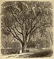Cambridge (Mass.) - Washington Elm.jpg