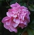 Camellia (10061326526).jpg