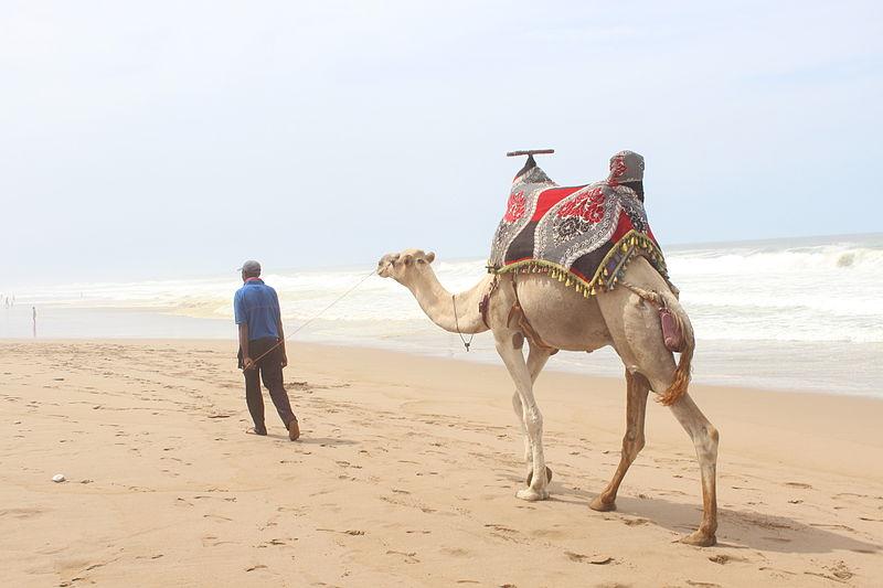 File:Camelus dromedarius aglou.JPG
