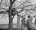 Cameraman tree Cherry Blossom Queen. 26381v.jpg