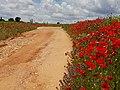 Camino de amapolas.jpg