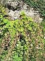 Campanula allariifolia (Samoens).jpg