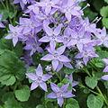 Campanula fenestrellata ssp. istriaca-IMG 1540.jpg