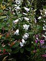 Campanula latifolia alba - Flickr - peganum (3).jpg