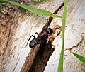 Camponotus species worker Ant (44989335204).jpg