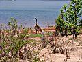 Canad Geese Nesting.JPG
