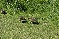 Canada goose - Branta canadensis (41257777014).jpg