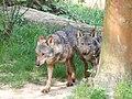 Canis lupus signatus (Kerkrade Zoo) 10.jpg